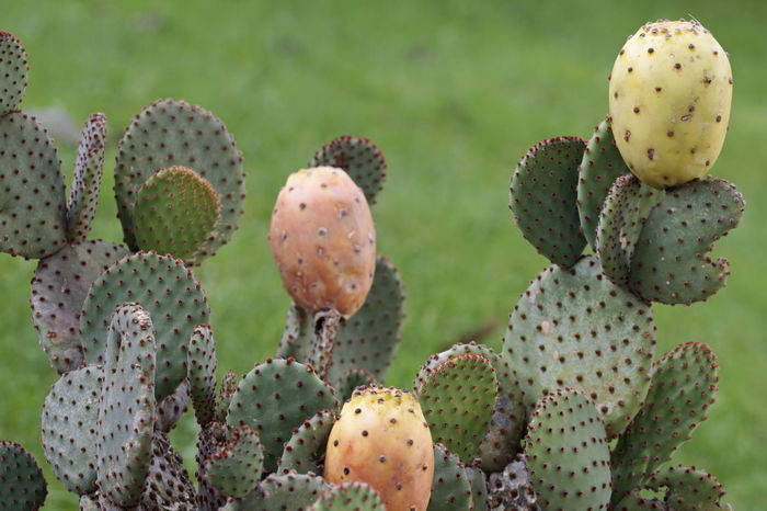 Beauty In Nature Cactus Cactus Cactus Blossoms Cactus Collection Cactus Flower Close-up Day Flower Head Focus On Foreground Freshness Fruit Pulp Green Color Growth Mescaline Nature No People Opuntia Outdoors Plant Prickly Pear Spiked Thorn Thorns Uncultivated