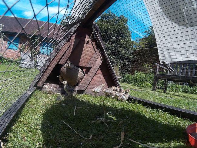 My Smartphone Life Pheasants Nature Mama