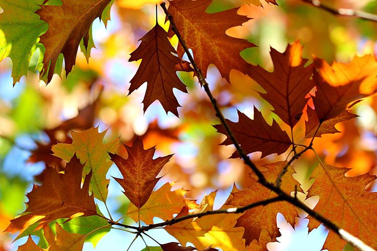 Autumn Leaf Plant Part Change Maple Leaf No People Maple Tree Full Frame Yellow Low Angle View Beauty In Nature Nature Branch Close-up Growth Orange Color Leaves Day Plant Tree