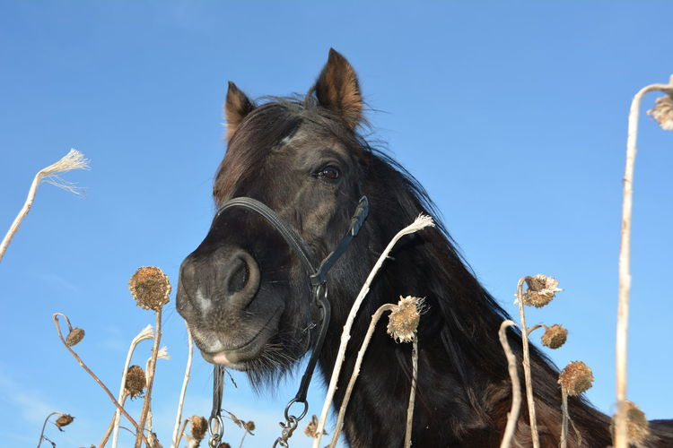 Close-up of horse amidst dried sunflowers against clear sky