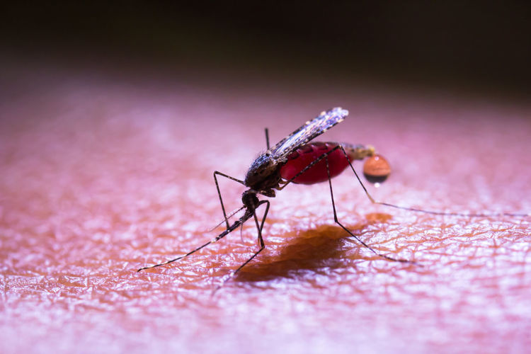 Mosquito Blood Donation Blood Orange Vaccine For Allergies Vaccines❌🚫❎💉 Animal Themes Animals In The Wild Blood Bloodylampposts Close-up Day Insect No People One Animal Outdoors Selective Focus Vaccine Vaccine Depot Vaccine Development Vaccine Vial Vaccines