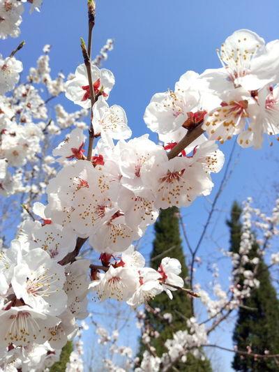 桃花 Flower Head Tree Flower Branch Springtime Clear Sky Plum Blossom Blossom White Color Apple Blossom