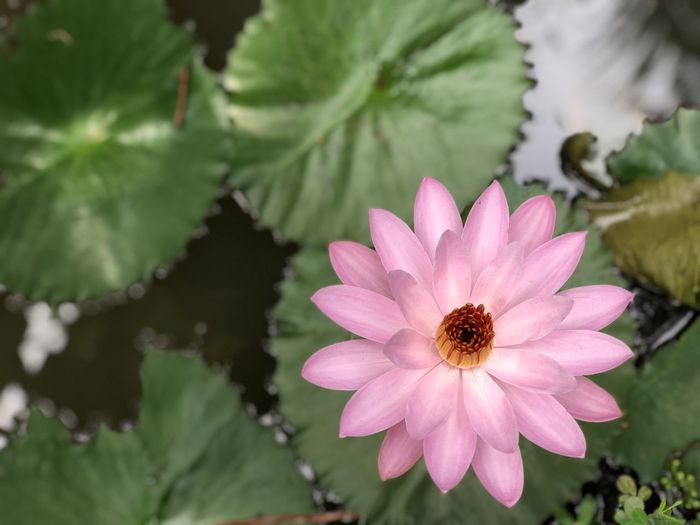 Pretty in Pink 3 Beauty In Nature Close-up Day Flower Flower Head Flowering Plant Focus On Foreground Fragility Freshness Growth Inflorescence Leaf Nature No People Petal Pink Color Plant Plant Part Pollen Pollination Purple Vulnerability  Water Lily Water Lily Flower