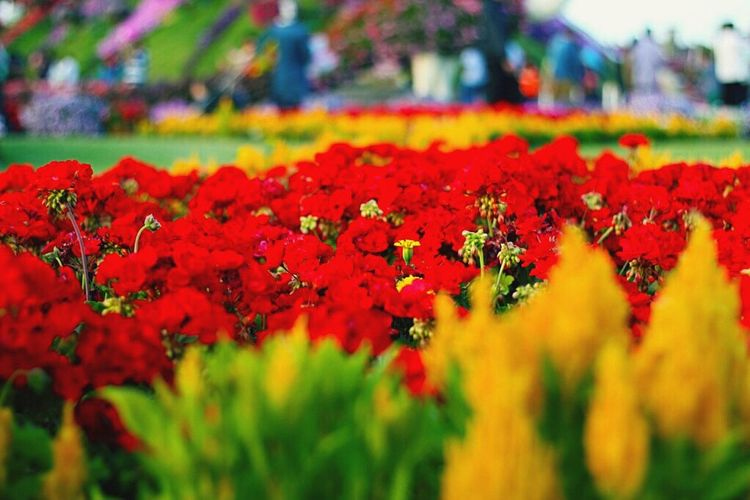May Flowers Always Line Your Path And Sunshine Light Your Day. Flower Fragility Red Freshness Beauty In Nature Nature Multi Colored Plant Growth Vibrant Color Flower Head Focus On Foreground Outdoors Petal Day Close-up No People Blooming EyeEmNewHere DubaiMiracleGarden