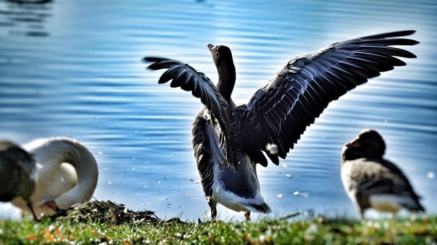 The wild duck Bird Animals In The Wild Animal Themes Animal Wildlife Spread Wings Lake Nature Day Outdoors No People Grass Water