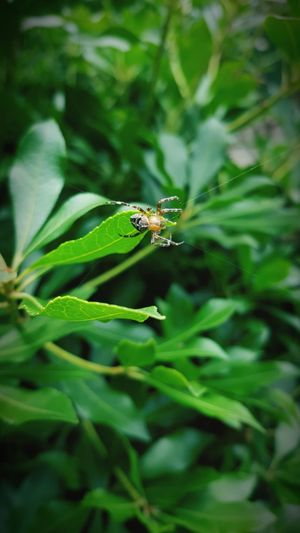 One Animal Spider Animals In The Wild Insect No People Green Color Amateurshot Byondascaptures 2017