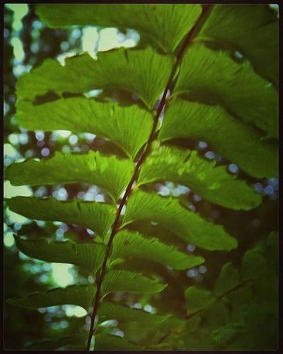 Sunshine on a maidenhair (fern) Forestfriend Nativeplants Kentuckyoutdoors Wildernessculture Woodlandplants AppalachianMountains Godsgarden Woodlandwonders Maidenhairfern SecretGardens Kyphotographer Kentuckyoutdoors Kyscenery Kywildinthewoods