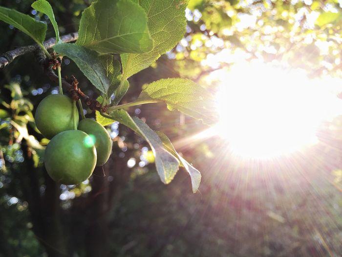 Plum Fruit Nature