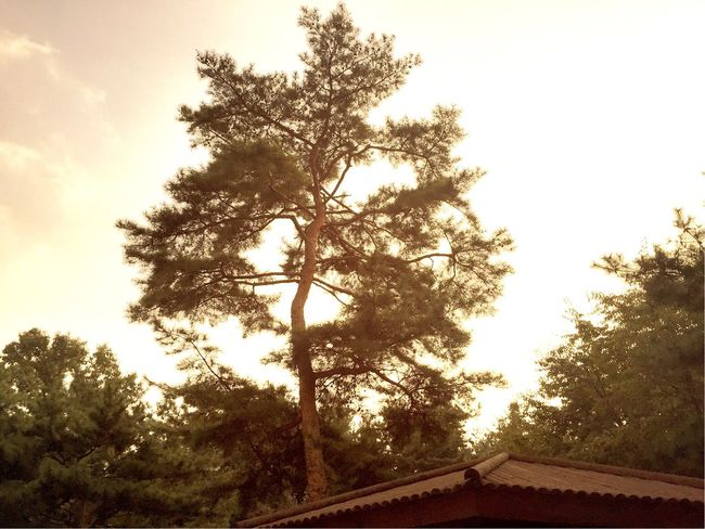 Tree Pine Tree Pinetrees Trees Sky Clouds Gold Gold Sky Beautiful Cool Autumn