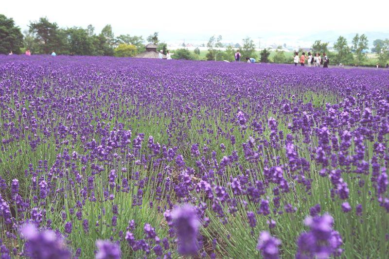 Herb Plant Flower Purple Growth Field Landscape Freshness Lavender Nature