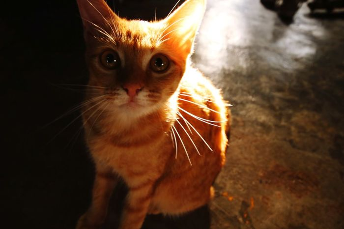Domestic Cat Pets Feline Portrait Looking At Camera One Animal Whisker Domestic Animals Animal Themes No People Mammal Close-up Indoors  Day Space EyeEmNewHere