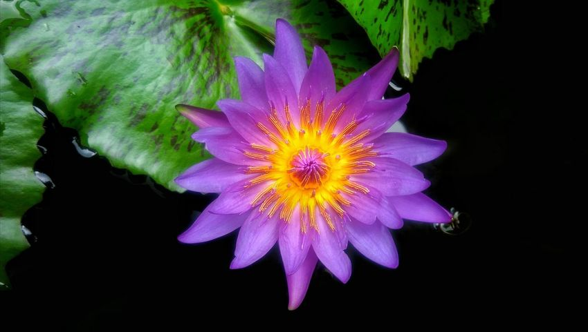 Beautiful purple lotus Flower Purple Flower Purple Lotus Flower Blossom Blossomflower Colorful Beauty In Nature Plant Flora Colorfulflower Beautiful Nature Nature Freshness Floral