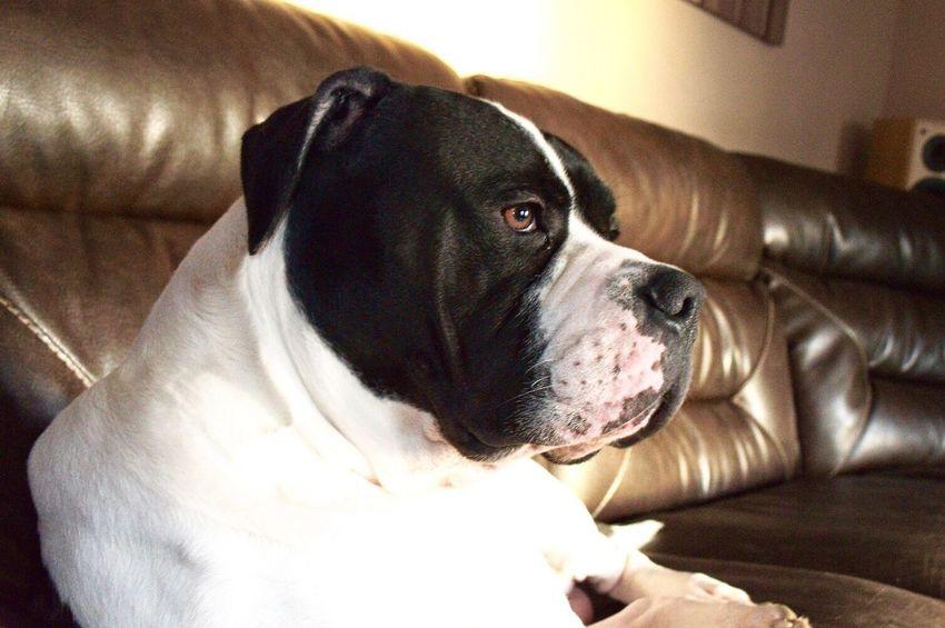 Pets Mammal Cute Dog Home I Like This Thoughts?  AmericanBulldog