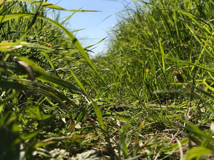 Grass jungle Plant Green Color Growth Nature Beauty In Nature Day Grass Field Sky Outdoors Close-up Tranquility
