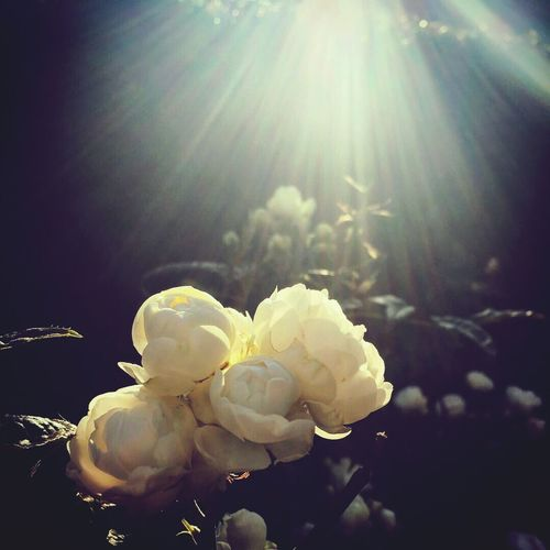 Flower Petal Beauty In Nature Nature Flower Head Fragility Lens Flare Growth Close-up Freshness Plant No People Sunlight Rose - Flower Blooming Day Water Outdoors
