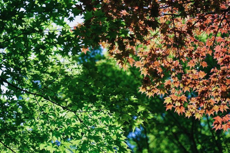 Processed with VSCO with l6 preset Plant Tree Growth Leaf Plant Part Beauty In Nature Green Color Day Nature Low Angle View Branch No People Outdoors Tranquility Sunlight Focus On Foreground Freshness Forest Green Scenics - Nature Leaves Maple Leaf Tree Canopy