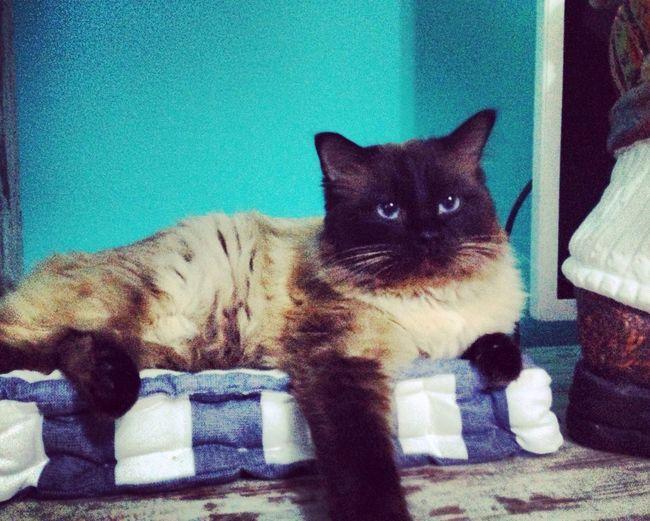 Portrait Domestic Cat Pets One Animal No People Whisker Ragdoll Ragdoll Cat Kitten