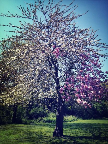 Crazy tree with half white half pink blossoms in Peckham Rye park seen whilst on dog walk! Spring Cherry Blossoms Mother Nature Natural Beauty