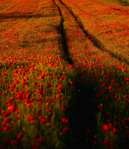 Poppies In a