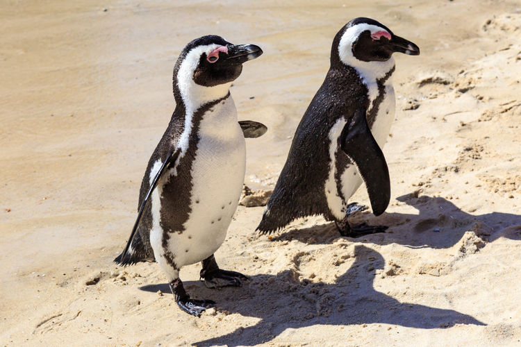 High angle view of penguin on sand at beach