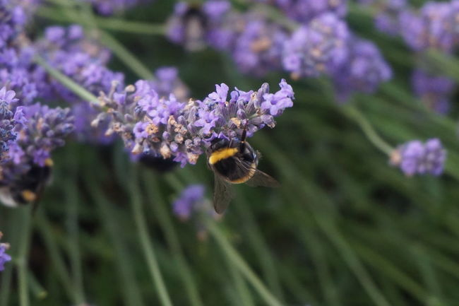 Animal Themes Animal Wildlife Animals In The Wild Beauty In Nature Buzzing Day Flower Fragility Freshness Growth Hummel Insect Lavendel Nature No People One Animal Outdoors Plant Pollination Purple EyeEmNewHere