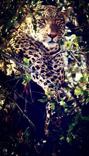Botswana Lepard