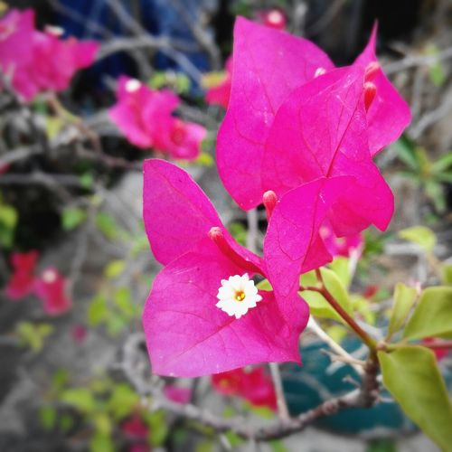 Flowerporn Flower Collection Bouganville Shockingpink Flowers Plants EyeEm Nature Lover