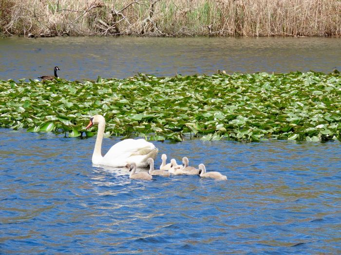 Swan family outing swimming water ripples lily pads mute female swan with cygnets animal themes outdoors beauty in nature Group Of Animals No People