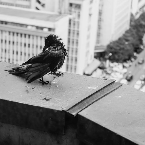 Cute Raven In The City