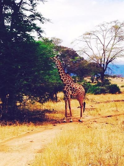 Tsavo East I ❤️Giraffe's First Eyeem Photo