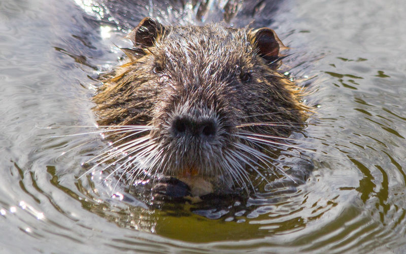 Close-up of water vole swimming in water