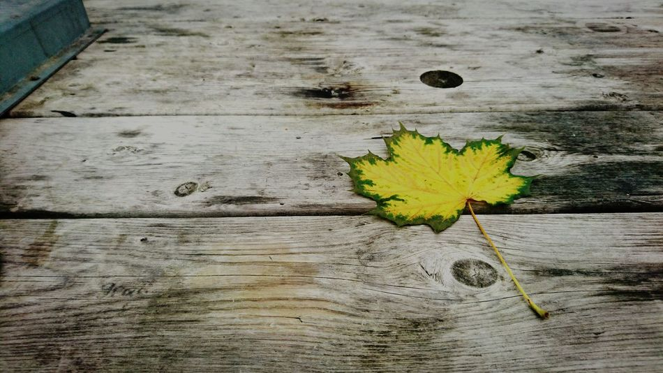 "A solitary leaf is never alone when it's part of the colourful ""orchestral"" of Autumn. Wood - Material Yellow No People Outdoors Nature Close-up Day Leaf Leaf 🍂 Leafs Photography Leaf Autumn Autumn Autumn Colors Autumn Leaves Autumn Collection Eyeem Autumn Solitude Solitary"