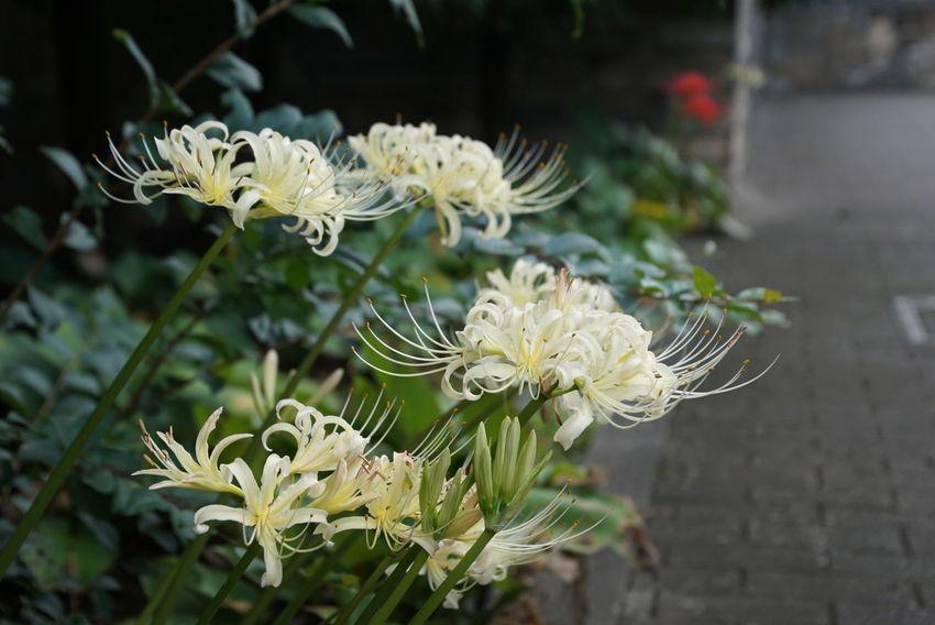 曼珠沙華 彼岸花 Flower Cluster Amaryllis EyeEm Best Shots Nature_collection EyeEm Nature Lover Nature