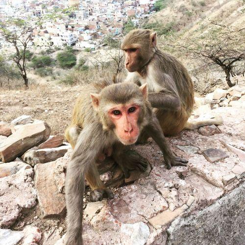 Monkeys sitting on rocks