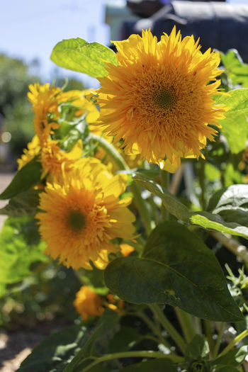 Flower Flowering Plant Growth Plant Fragility Freshness Vulnerability  Petal Yellow Flower Head Beauty In Nature Inflorescence Close-up Plant Part Leaf Nature Focus On Foreground No People Day Pollen Outdoors Sunflower