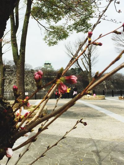 満開までまだやね〜🌸久々のウォーキングでお写ん歩 Castle Cherry Blossoms Nature Sky_ Collection 大阪城