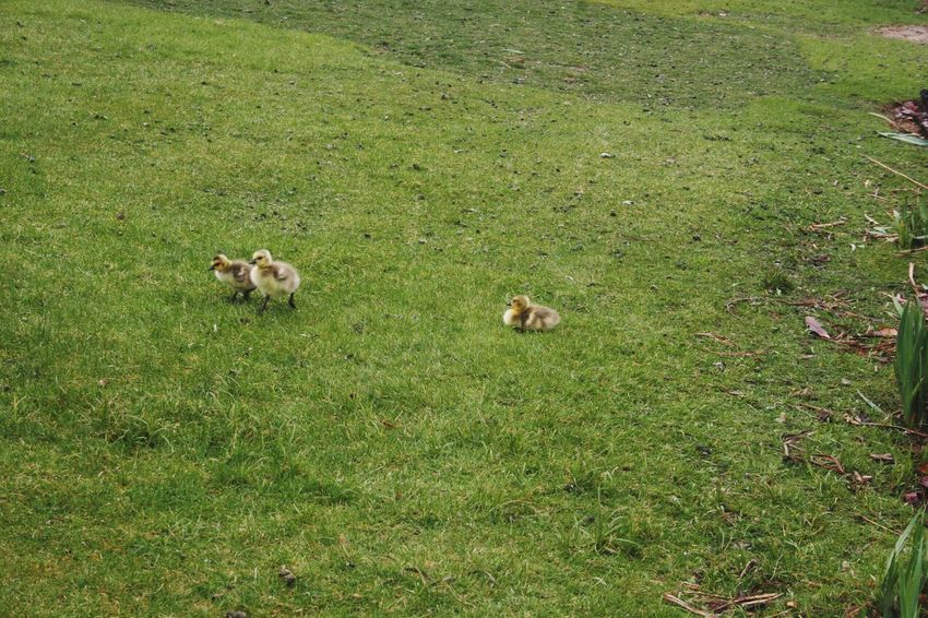 Grass Animal Themes Green Color Mammal No People Outdoors Day Nature Young Animal Animals In The Wild Springtime Rainy Days Baby Duckling