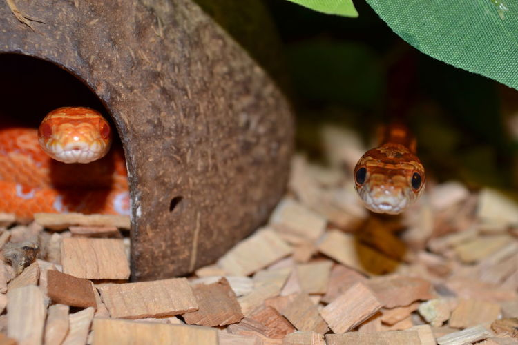 Close-up of corn snakes on wooden pieces