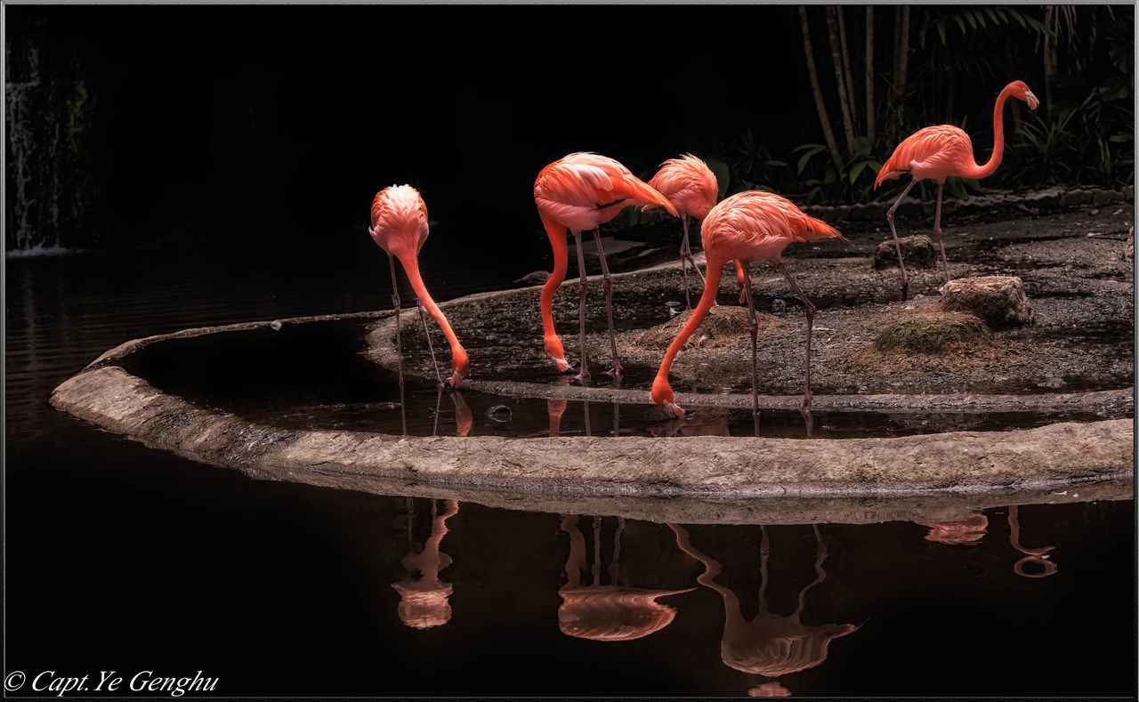 black background, studio shot, flamingo, water, no people, red, close-up, nature, animal themes, day, outdoors