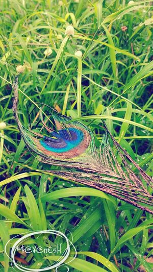 Nature Photography Peace And Quiet Peacock Feather Outdoors Snap Ground Level View Waterdrop Wayerdroplets Light And Shadow Colourful Nature