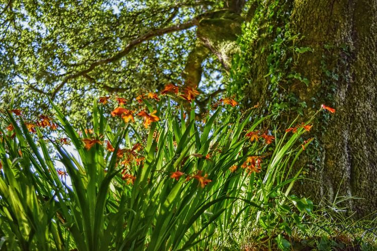 High Summer Afternoon Cornwall Uk Cornwall Walks Crocosmia Lucifer Fireweed Flower Nature Orange Color Pink Color Summer Summertime Sunny Day Tamar Valley Trees Wild Crocosmia Wildlife & Nature