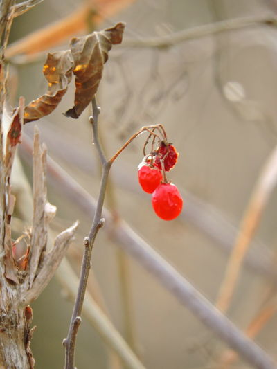 Red Beauty In Nature Close-up Day Focus On Foreground Food Food And Drink Freshness Fruit Growth Nature No People Outdoors Plant Red Red Berries, Rose Hip Tree