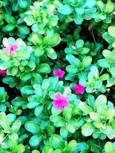 Flower Plant Green Color Leaf Growth Nature Outdoors Beauty In Nature High Angle View Day Pink Color Full Frame No People Fragility Flower Head Freshness Blooming Close-up Periwinkle