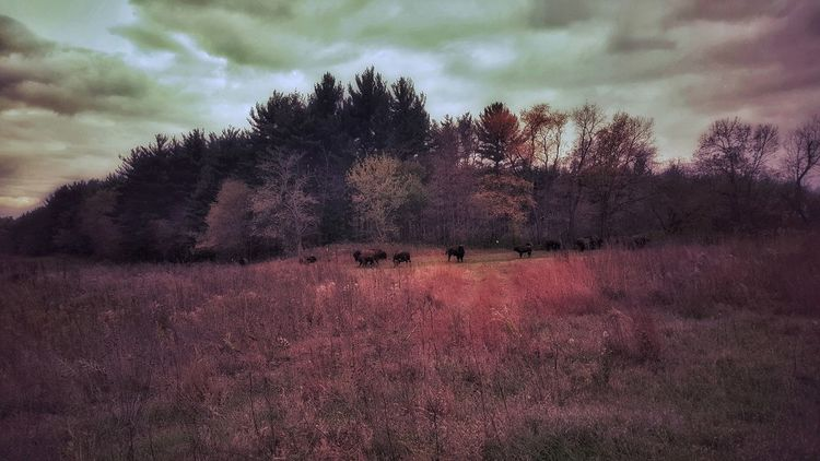 Where the buffalo roam Nature Outdoors Beauty In Nature Landscape Forests Woods Light And Shadow Autumn Fall EyeEm Best Shots Illinois EyeEmBestPics Galaxy S6 EyeEm Best Shots - Nature Nature Photography EyeEm Best Shots Panoramic Dramatic Sky Bison In Natural Environment Bison Nachusa Grasslands