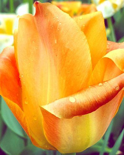 Tulips🌷 Tulip Festival 郁金香 雨中的花蕾 在雨中