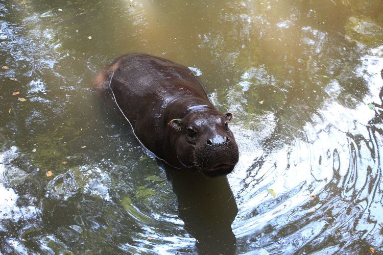 a lovely hippo One Animal Animal Themes Animal Mammal Water Vertebrate Day No People Animal Head  Animal Wildlife Domestic Animals Animals In The Wild Domestic Pets High Angle View Nature Outdoors Hippopotamus Hippo