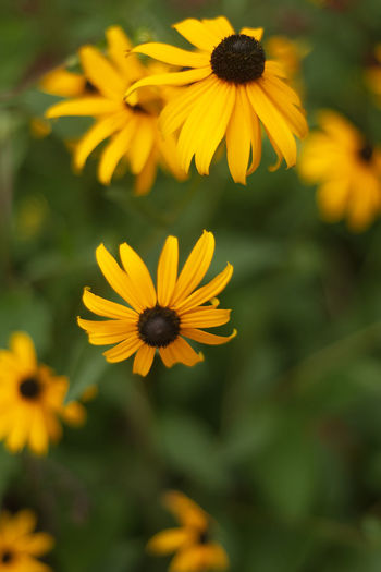 Beauty In Nature Black-eyed Susan Close-up Coneflower Day Flower Flower Head Flowering Plant Focus On Foreground Fragility Freshness Growth Inflorescence Nature No People Outdoors Petal Plant Pollen Vulnerability  Yellow