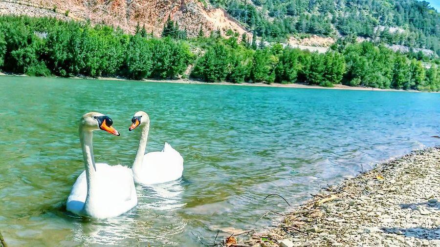 Cigni sul lago