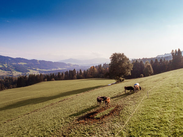 Alpenloge Allgäu AlpenLoge Agriculture Beauty In Nature Cow Day Domestic Animals Field Grass Grazing Growth Landscape Livestock Mammal Mountain Nature One Animal Outdoors Rural Scene Scenics Sky Tranquil Scene Tranquility Tree