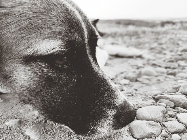 One Animal Dog Pets Animal Themes Domestic Animals Portrait Nature Mammal Outdoors Rocks Animal Body Part Nature Domestic Animal Pet Portraits Pet Dog Head Dog Portrait Dog Looking Away The Week On EyeEm Black And White Monochrome